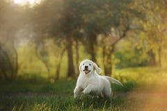 Funzionamenti del cucciolo di golden retriever su erba e su giochi Immagine Stock Libera da Diritti
