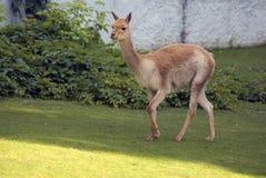 Funzionamenti del guanaco su erba verde Foto a colori Fotografia Stock