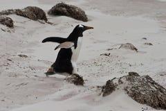 Funzionamenti del pinguino di Gentoo Fotografia Stock Libera da Diritti