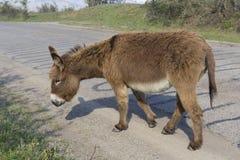 Funzionamenti dell'asino di Brown lungo la strada pavimentata Fotografia Stock Libera da Diritti