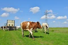 Funzionamenti della mucca in prato dopo trasporto del bestiame Fotografie Stock Libere da Diritti