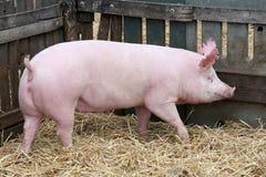 Funzionamenti della scrofa del maiale nel porcile da solo Fotografia Stock Libera da Diritti