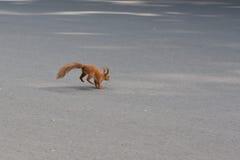 Funzionamenti dello scoiattolo sulla strada Fotografia Stock Libera da Diritti