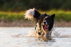 Funzionamenti di border collie in un lago Fotografia Stock