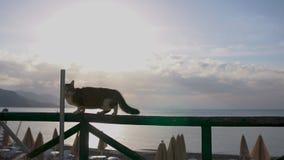 Funzionamenti spaventati del gatto lungo il caffè del recinto vicino alla spiaggia al rallentatore ad alba stock footage