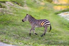 Funzionamento ad alta velocità della zebra, inseguimento Fotografia Stock Libera da Diritti