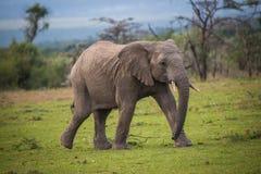 Funzionamento adolescente dell'elefante Fotografie Stock