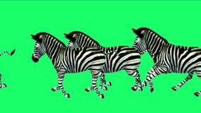 funzionamento animale di migrazione della siluetta degli asini del cavallo delle zebre del gruppo 4k, pascolo dell'Africa stock footage