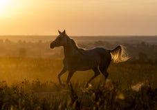 Funzionamento arabo del cavallo Fotografia Stock Libera da Diritti