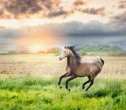 Funzionamento arabo del cavallo sul prato soleggiato sul tramonto Fotografia Stock