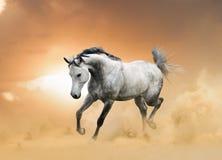 Funzionamento arabo dello stallone Fotografie Stock Libere da Diritti