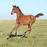 Funzionamento arabo perfetto del puledro del cavallo sul pascolo Fotografia Stock