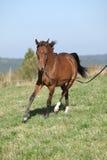 Funzionamento arabo splendido del cavallo sul pascolo di autunno Fotografie Stock Libere da Diritti