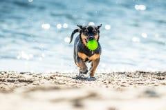 Funzionamento bagnato del cane con la palla Fotografie Stock