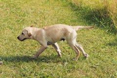 Funzionamento bagnato del cucciolo Fotografia Stock Libera da Diritti