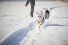 Funzionamento bianco del cane nella neve nell'inverno Fotografia Stock Libera da Diritti