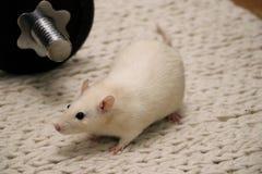 Funzionamento bianco del ratto dell'animale domestico sul pavimento Fotografia Stock