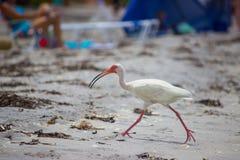 Funzionamento bianco dell'ibis sulla spiaggia Immagini Stock Libere da Diritti