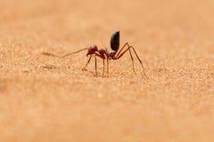 Funzionamento bicolore di Sahara Desert Ant Cataglyphis lungo le dune di sabbia fotografia stock libera da diritti