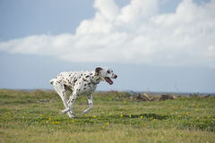 Funzionamento dalmata felice del cane in un parco Fotografia Stock