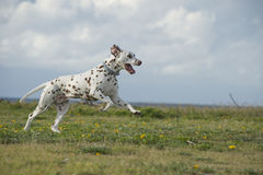 Funzionamento dalmata felice del cane in un parco Fotografie Stock