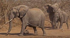 Funzionamento degli elefanti di funzionamento Fotografia Stock Libera da Diritti