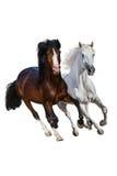 Funzionamento dei cavalli isolato fotografia stock