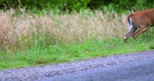 Funzionamento dei cervi attraverso la strada fra i campi stock footage