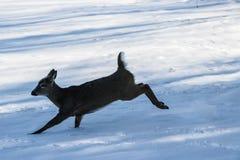 Funzionamento dei cervi nella neve Fotografia Stock