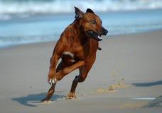 Funzionamento del cane fotografie stock