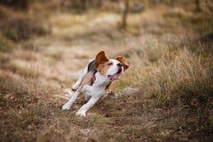 Funzionamento del cane da lepre immagine stock