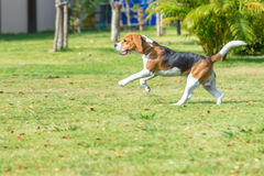 Funzionamento del cane da lepre Fotografia Stock