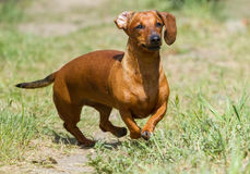 Funzionamento del cane del bassotto tedesco Immagini Stock
