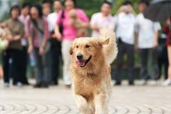 Funzionamento del cane del documentalista dorato Fotografie Stock