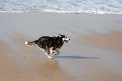 Funzionamento del cane del husky Fotografia Stock