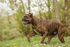 Funzionamento del cane del pugile Immagine Stock
