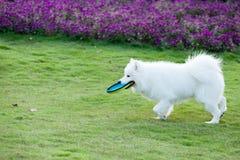 Funzionamento del cane del Samoyed Immagini Stock Libere da Diritti