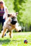 funzionamento del cane della cattura di sfera Fotografie Stock Libere da Diritti