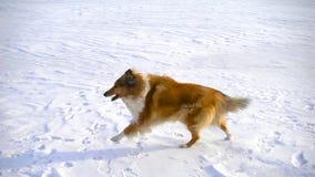Funzionamento del cane delle collie sul campo di neve archivi video