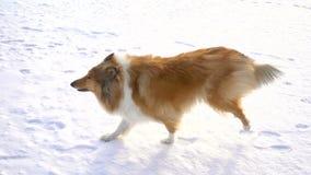 Funzionamento del cane delle collie sul campo di neve alla ragazza in cappotto rosso video d archivio