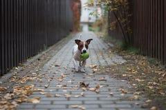 Funzionamento del cane di Jack Russell Terrier con una palla verde in bocca Fotografie Stock Libere da Diritti
