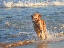 Funzionamento del cane di Labrador alla spiaggia Fotografia Stock Libera da Diritti