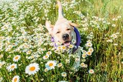 Funzionamento del cane di Labrador nel camomilesv fotografie stock libere da diritti