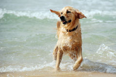 Funzionamento del cane e giocare al mare fotografia stock