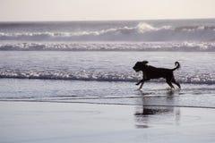 Funzionamento del cane in mare Immagine Stock Libera da Diritti