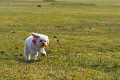Funzionamento del cane nel campo Fotografie Stock Libere da Diritti