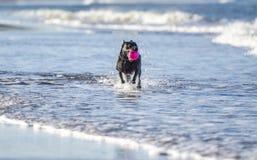 Funzionamento del cane nella palla di trasporto del mare Immagini Stock
