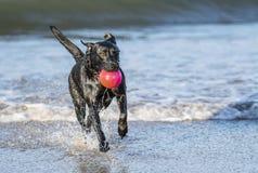 Funzionamento del cane nella palla di trasporto del mare Fotografia Stock Libera da Diritti