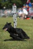 funzionamento del cane nero immagini stock