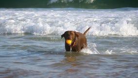 Funzionamento del cane in spiaggia di sabbia stock footage